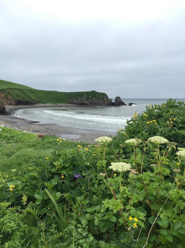 浜辺に咲く花はオオハナウド