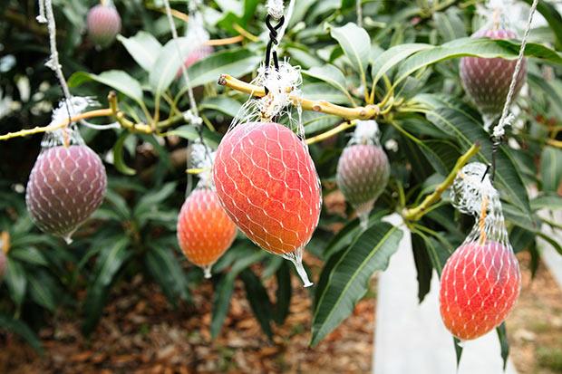 西都市ではマンゴーなど南国の農産物も育ちます。