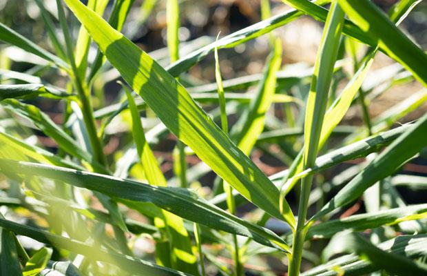 しっかり茂った生姜の葉。光合成してどんどん成長していきます。