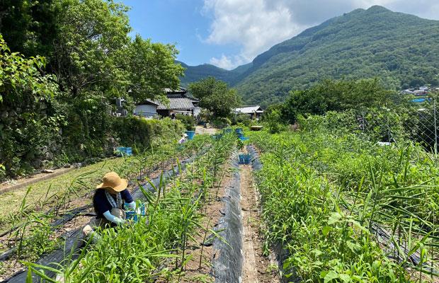 生姜と同じように、そのほかの草もぐんぐん育ちます。栽培中は何度か除草作業も必要。