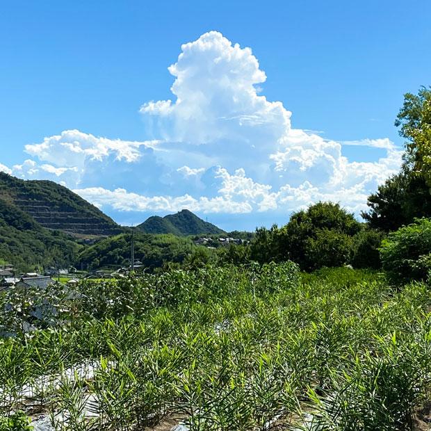 この日はすごい入道雲でした。8月上旬の生姜畑。雨が欲しい。