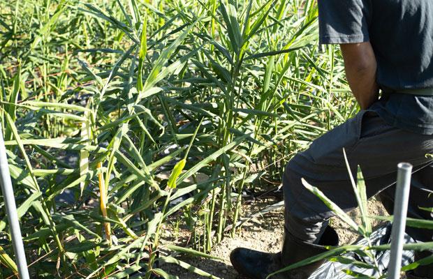 9月に入りようやく生姜の試し掘り。茎は立派ですが、生姜は意外と小さかったりします。